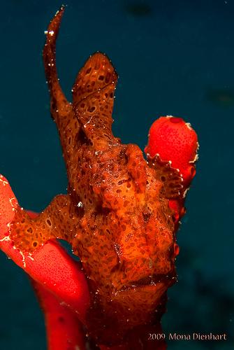 Sinai anglerfish