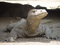 Komodo dragon on Komdo island