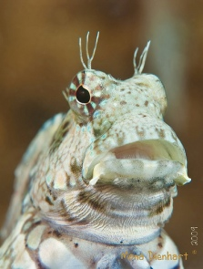 What's up? Blenny