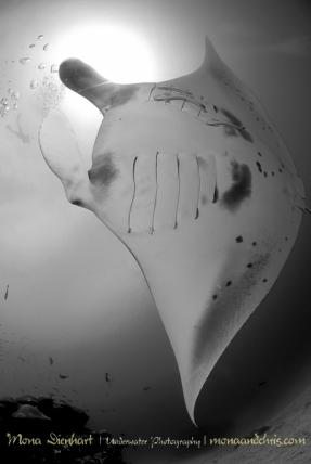 manta fly
